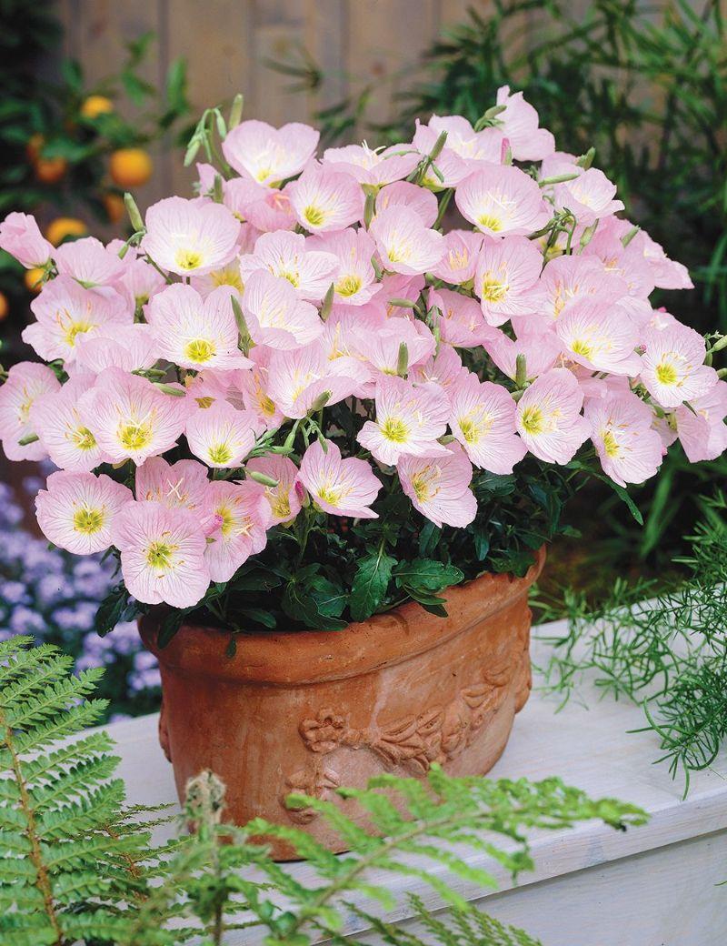 primrose perennial flowers for shade in ceramic pot