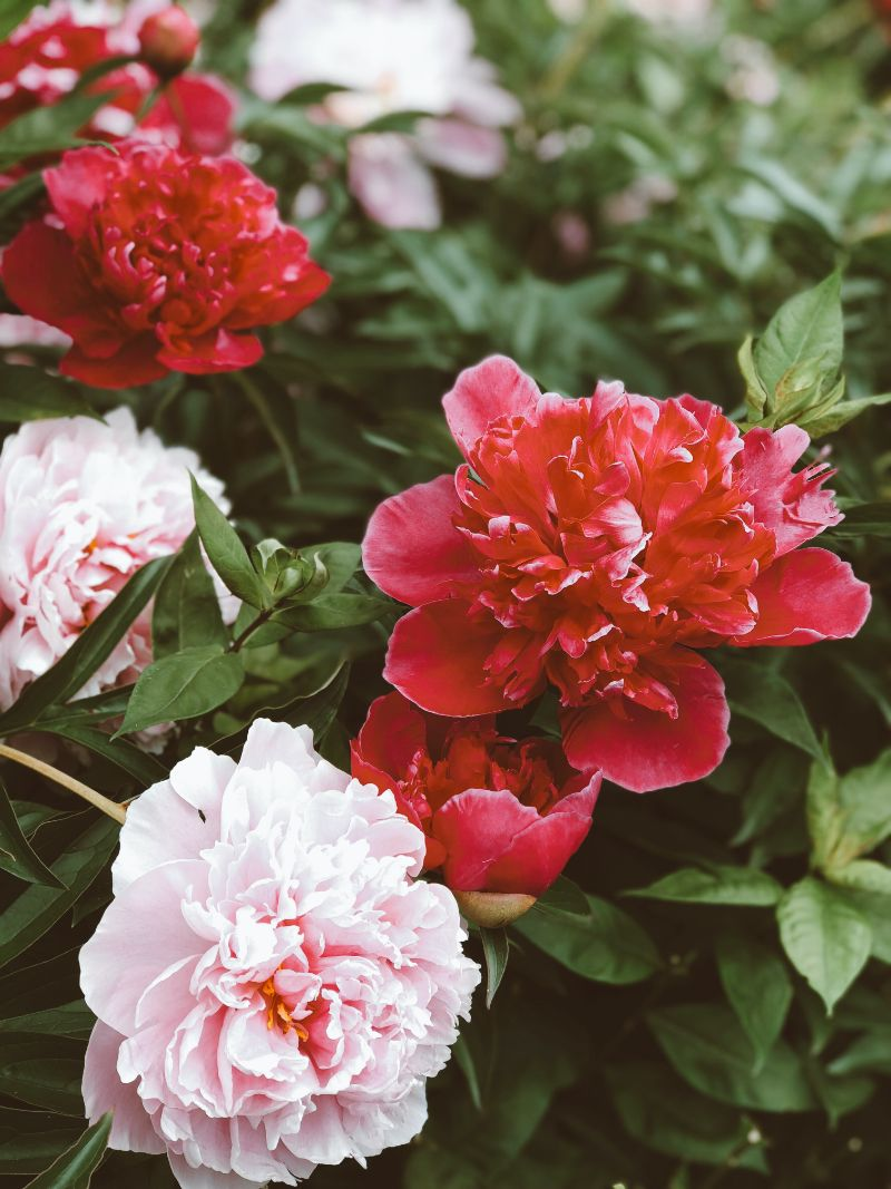 red and white types of peonies close up photo