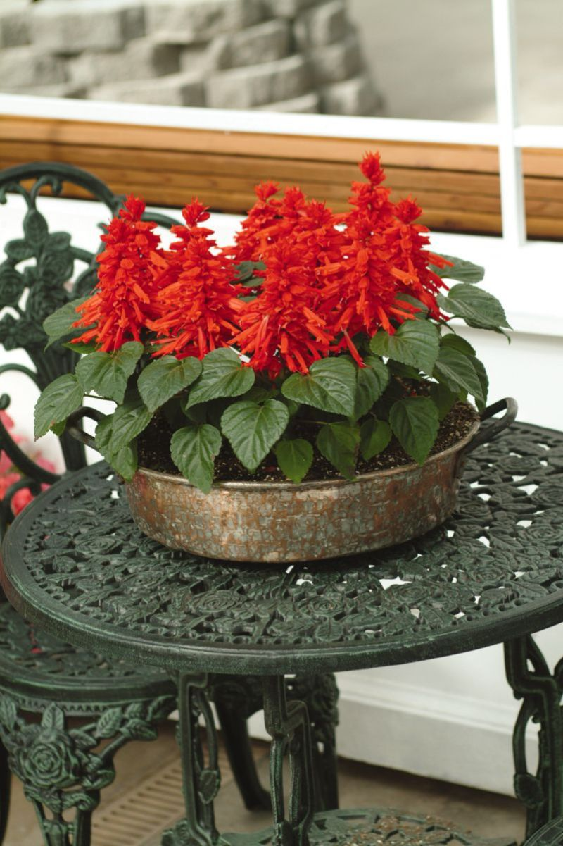 salvia in red perennial flowers for shade