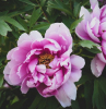 two peony flower buds green leaves