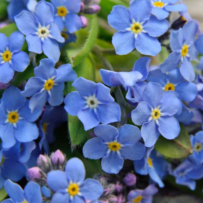 what is a perennial forget me not blue flowers
